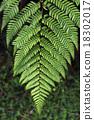 Silver fern 18302017