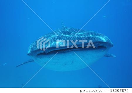 고래 상어의 얼굴 18307874