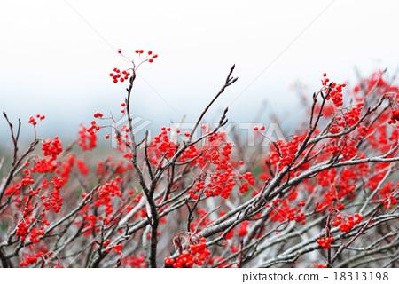 紅色果樹 18313198