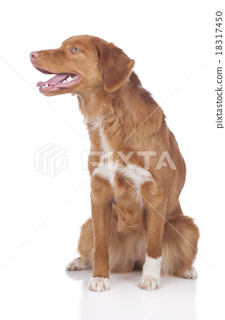 Duck Tolling Retriever sitting on white 18317450