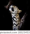 Leopard portrait 18323453