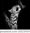 Leopard portrait 18323454