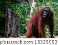 Female Orang Utan in Borneo Indonesia 18325093