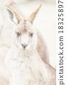 袋鼠 自然 動物 18325897