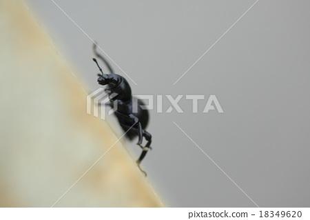 생물 곤충 크로 카타 바구미 단단한 몸을 만들기 위해 위 날개는 열리지 않을 것 같습니다. 이시가키 섬, 이리 오모테 섬에 있습니다 18349620