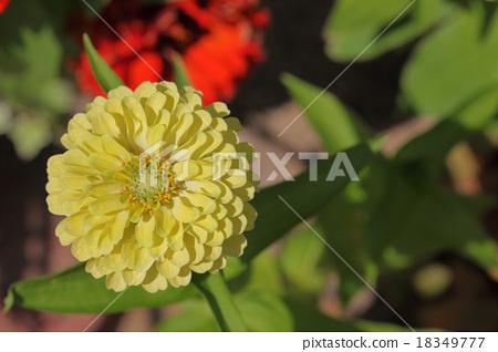 Otori Jinya Yellow flower 18349777