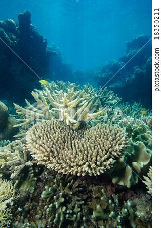 珊瑚 分叉珊瑚 大堡礁 18350211