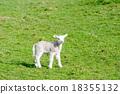 animal, animals, lamb 18355132
