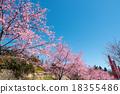 開花 櫻花 櫻 18355486