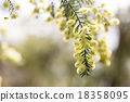 close up of conifer blossoms in spring 18358095