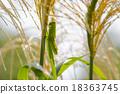 蚱蜢 蝗蟲 日本蒲葦 18363745