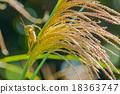 蚱蜢 蝗蟲 日本蒲葦 18363747
