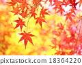 槭樹秋葉 18364220