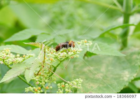 A hornet 18366097