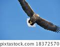 白尾海雕 猛禽 鳥 18372570