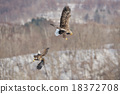 白尾海雕 鳥 競爭 18372708
