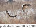 싸우는 두 마리의 흰 꼬리 수리 18372709