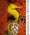 Yellow Seahorse  18373436