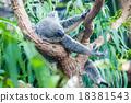 koala 18381543