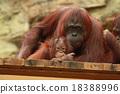 猩猩 父母和小孩 親子 18388996