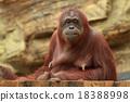 猩猩 動物 哺乳動物 18388998