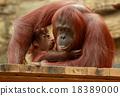 오랑우탄의 부모와 자식 18389000