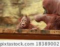猩猩 哺乳動物 動物 18389002