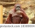 猩猩 哺乳動物 動物 18389004