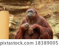 猩猩 動物 哺乳動物 18389005