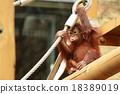 猩猩 孩子 小孩 18389019