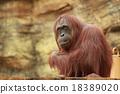 猩猩 哺乳動物 動物 18389020