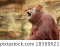 猩猩 動物 哺乳動物 18389021