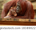 猩猩 父母和小孩 親子 18389022