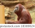 猩猩 哺乳動物 動物 18389024
