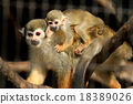 猴子 父母和小孩 父母身份 18389026