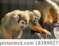 猴子 父母和小孩 父母身份 18389027