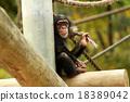 黑猩猩 動物 哺乳動物 18389042