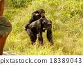 침팬지, 동물, 포유류 18389043