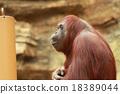 猩猩 哺乳動物 動物 18389044