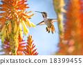 Hummingbird 18399455