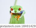 Red eyed frog green tree on colorful background 18401429