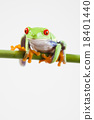 Red eye tree frog on colorful background 18401440