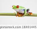 Red eye tree frog on colorful background 18401445