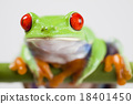 Red eye tree frog on colorful background 18401450