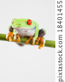Red eye tree frog on colorful background 18401455