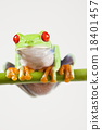 Red eye tree frog on colorful background 18401457