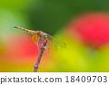 蜻蜓 分支 樹枝 18409703