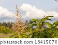 Flowers of a Mango Tree 18415070