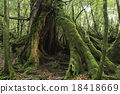 6 월 초여름 야쿠시마의 야쿠 삼나무 거목 18418669