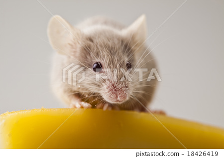 Funny mouse on the cheese, rural vivid colorful  18426419
